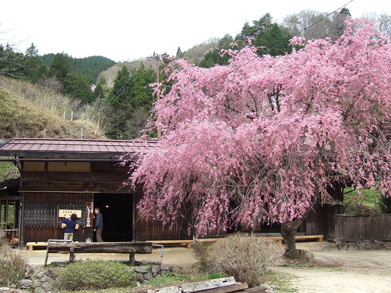 一石栃の桜